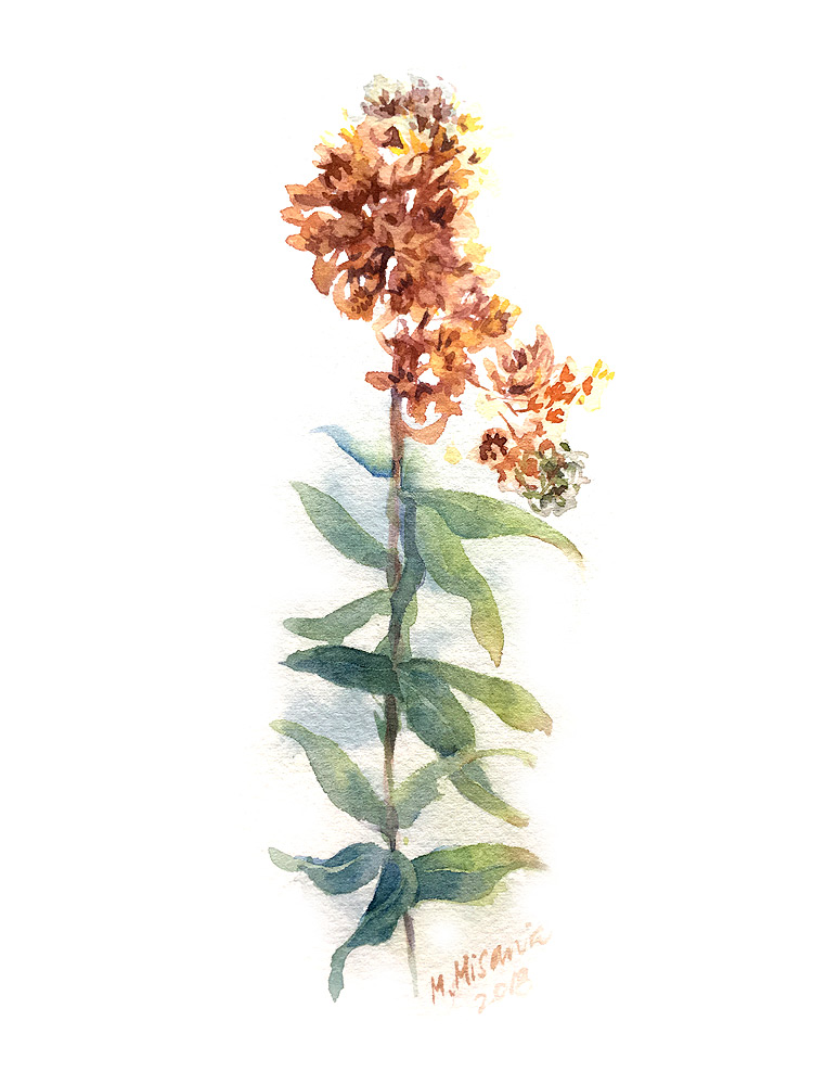 flor03_milkweed